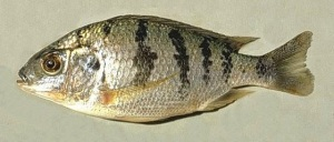 Chambo Fish